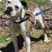 Adopt A Pet :: Hoss - Spring Valley, NY