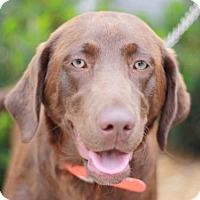Adopt A Pet :: Bellalou - Brattleboro, VT