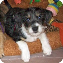 Yorkie, Yorkshire Terrier/Dachshund Mix Puppy for adoption in Tallahassee, Florida - Domino