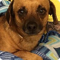 Adopt A Pet :: Carson - Scottsdale, AZ