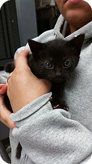Domestic Shorthair Kitten for adoption in Paducah, Kentucky - Waffles