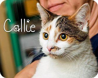 Domestic Shorthair Cat for adoption in Somerset, Pennsylvania - Callie