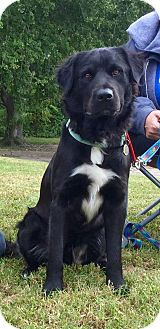 Labrador Retriever Mix Dog for adoption in Virginia Beach, Virginia - Barney