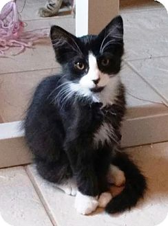 Domestic Mediumhair Cat for adoption in Riverside, California - Mufasa