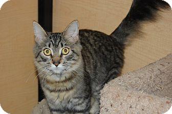 Domestic Mediumhair Kitten for adoption in Whittier, California - Yodie