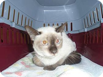 Siamese Cat for adoption in THORNHILL, Ontario - Mirage