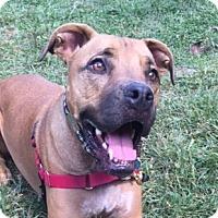 Mastiff/Boxer Mix Dog for adoption in Asheville, North Carolina - Ike