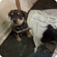 Adopt A Pet :: x1 of 9 puppies - Hardeeville, SC