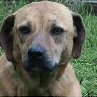 Catahoula Leopard Dog/Labrador Retriever Mix Dog for adoption in Tyler, Texas - TG-Suki