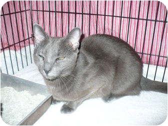Russian Blue Cat for adoption in Colmar, Pennsylvania - Muriel