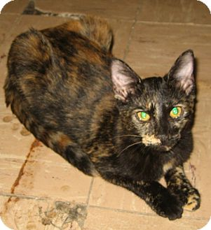 Domestic Shorthair Cat for adoption in Bulverde, Texas - Trina