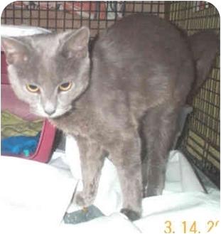 Russian Blue Kitten for adoption in Miami Beach, Florida - Bucky