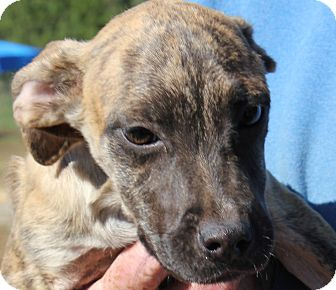 Pit Bull Terrier Mix Puppy for adoption in Colonial Heights, Virginia - Aurora