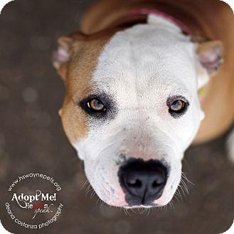 Pit Bull Terrier/Boxer Mix Dog for adoption in Lyons, New York - Elsa