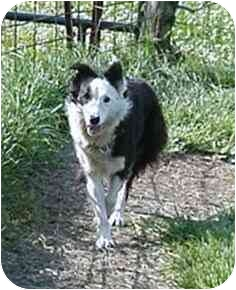 Border Collie Dog for adoption in Tiffin, Ohio - Lizzie--ADOPTED!!!