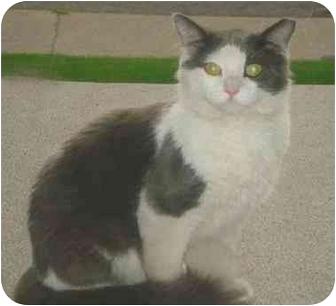 Turkish Van Cat for adoption in Hamilton, Ontario - Scrappy