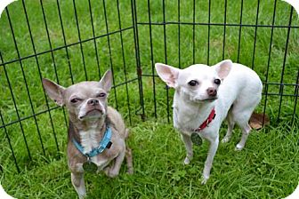 Chihuahua Dog for adoption in Chagrin Falls, Ohio - Taz