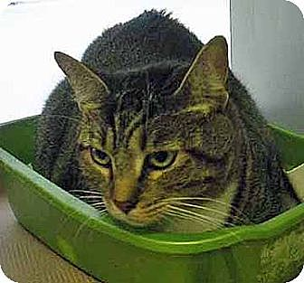Domestic Shorthair Cat for adoption in Brooklyn, New York - Vernon