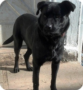 Labrador Retriever Mix Dog for adoption in North Wales, Pennsylvania - McKayla