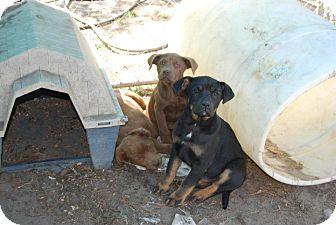 Rottweiler/Labrador Retriever Mix Puppy for adoption in Worcester, Massachusetts - Mika
