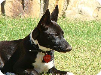 Basenji Dog for adoption in Fort Worth, Texas - MAYA