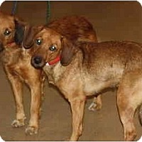 Adopt A Pet :: Ginger - Toronto/Etobicoke/GTA, ON