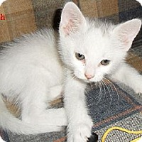 Adopt A Pet :: Stitch - Chandler, AZ