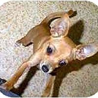 Adopt A Pet :: Stuart Little - dewey, AZ