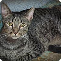 Domestic Shorthair Cat for adoption in Seminole, Florida - Einstein