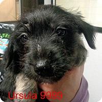 Adopt A Pet :: Ursula - baltimore, MD