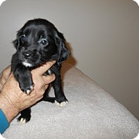 Adopt A Pet :: Wilkes Puppy #8 -Adopted! - Kannapolis, NC