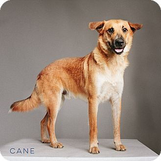 Shepherd (Unknown Type) Mix Dog for adoption in Houston, Texas - Cane