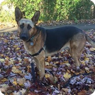 Shepherd (Unknown Type)/Labrador Retriever Mix Dog for adoption in London, Ontario - Utah