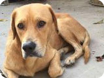 Retriever (Unknown Type) Mix Dog for adoption in Denver, Colorado - Milo