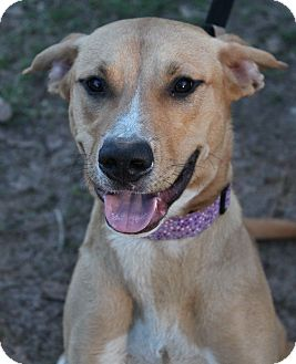Labrador Retriever/Retriever (Unknown Type) Mix Dog for adoption in McDonough, Georgia - Missy