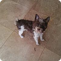 Maltese/Cairn Terrier Mix Puppy for adoption in Iowa, Illinois and Wisconsin, Iowa - Corey