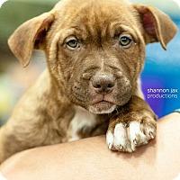 Adopt A Pet :: Justice - Gainesville, FL