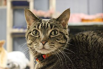 Domestic Shorthair Cat for adoption in New Richmond,, Wisconsin - Koko