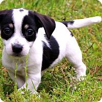 Adopt A Pet :: Boom-Boom - Glastonbury, CT