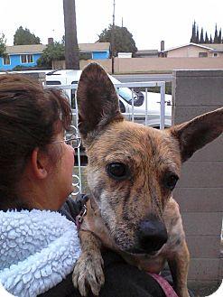 Corgi Mix Dog for adoption in San Diego, California - Winky URGENT