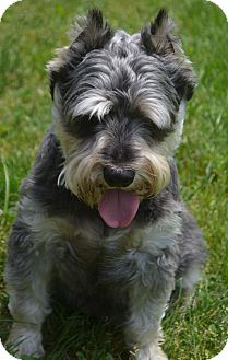 Schnauzer (Miniature) Mix Dog for adoption in Bridgeton, Missouri - Bugsy-Adoption pending