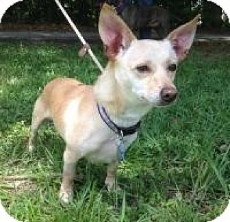 Chihuahua/Terrier (Unknown Type, Small) Mix Dog for adoption in Kingwood, Texas - Dino