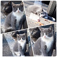 Adopt A Pet :: Sawyer - Newfield, NJ