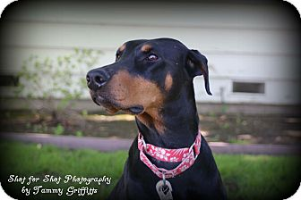 Doberman Pinscher Dog for adoption in Tracy, California - Ethel
