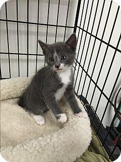 Domestic Shorthair Kitten for adoption in Tehachapi, California - Goblin