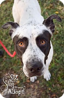 Pointer/American Bulldog Mix Dog for adoption in DFW, Texas - Coco