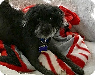 Poodle (Toy or Tea Cup) Dog for adoption in Cincinnati, Ohio - George