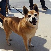 Adopt A Pet :: Sugar - Aurora, IL