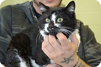 Domestic Shorthair Cat for adoption in Elyria, Ohio - Junior