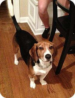 Beagle Dog for adoption in Schererville, Indiana - Ernie